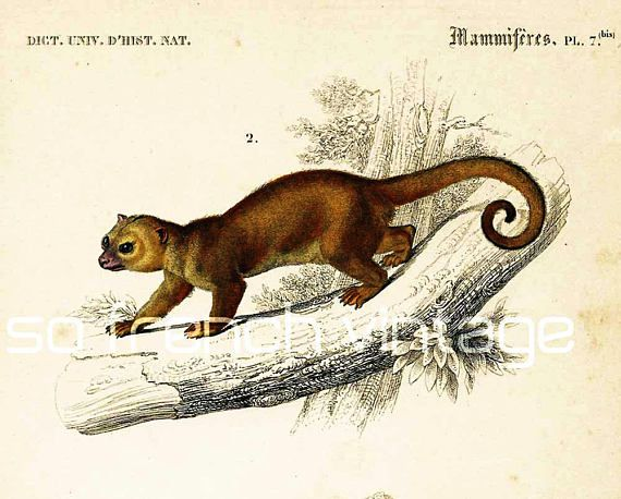 AUTHENTIC 1800s ENGRAVING. Not a copy.  This print is taken from the Dictionnaire Universel d'Histoire Naturelle, a publication directed by the french naturalist Charles He... #orbigny #kinkajou