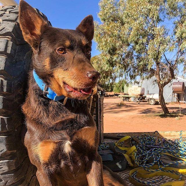Pin By Da Clever On Australia Farm Dogs Australian Kelpie Dogs