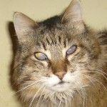 Gatto con lacrime marroni: cosa significa e perché accade