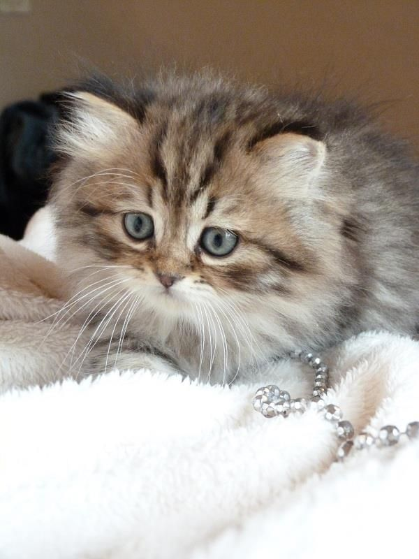 - British longhair kitten-