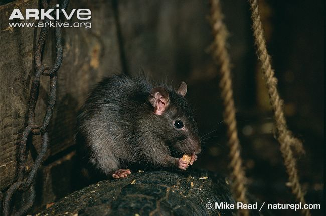 Also known as the ship rat, the black rat was introduced to Britain with the Romans. Generally smaller than the brown rat, the black rat is typically a uniform black to tawny brown colour, with lighter underparts. The tail, which is longer than the head and body, is hairless, and is used for balance.