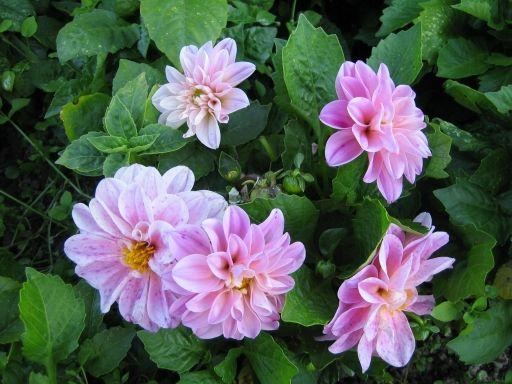 Tarhadaalia - Dahlia x hortensis