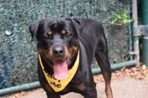♡ SAFE ♡ ZEUS – A1117018  MALE, BLACK / BROWN, ROTTWEILER, 3 yrs OWNER SUR – EVALUATE, NO HOLD Reason NO TIME Intake condition EXAM REQ Intake Date 06/30/2017, From NY 10314, DueOut Date 06/30/2017,  Medical Behavi