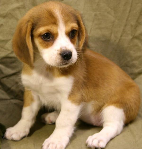 Peagle  También conocido como Peagle Hound, se trata de un cruce entre Beagle y Pekinés, muy sociables, confiados, juguetones e inteligentes. Se trata de la mascota ideal para tener en la familia y dejar que los más pequeños se relacionen con ella sin problema alguno.