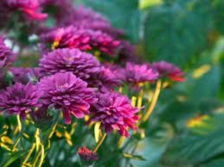 Indoor Flowering Plants – Caring for Chrysanthemum Plants