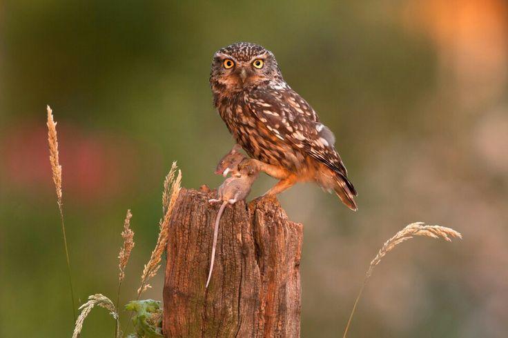 Steenuil ( Athene noctua ) in het laatste avondlicht. A Little Owl ( Athene noctua ) in a late sunbeam. Photographer Cees Uri www.ceesuri.nl