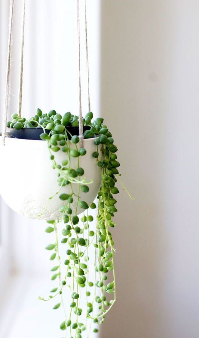 string of pearls is an easy-care succulent plant. It looks stunning in hanging baskets, trailing down. It is drought tolerant so you don't need to water frequently, once in every other week would be enough.