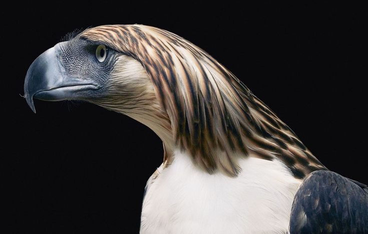 Philippine Eagle by Tim Flach. #timflach #animalphotography #eagle