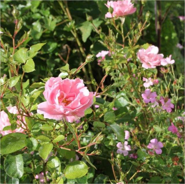 Roser og geranier