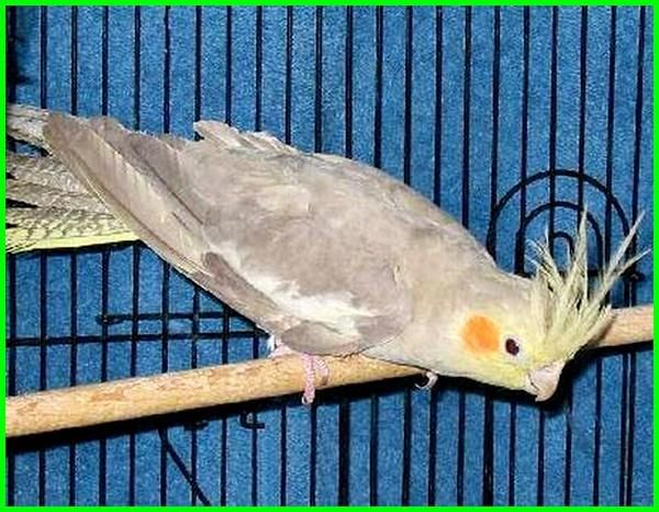 6 Jenis Warna Dasar Burung Falk Yang Paling Bagus Birds