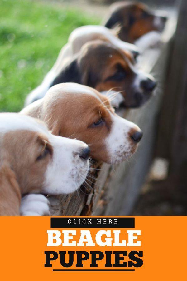 Lovely Beagle Caracteristicas In 2020 Beagle Dog Breed Beagle Dog Beagle Breeds