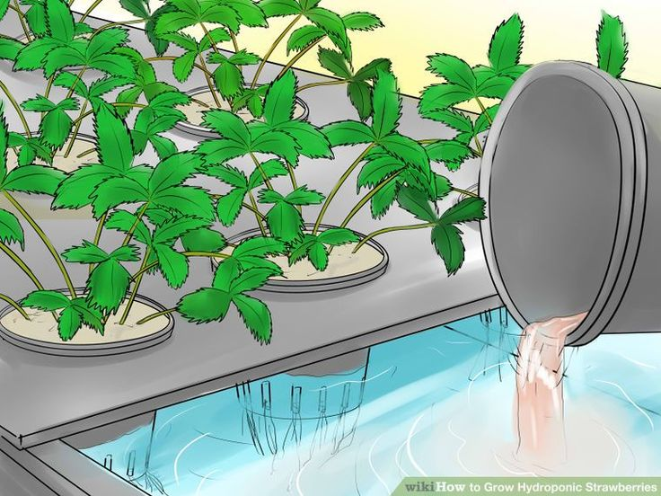 How to Grow Hydroponic Strawberries (with Pictures) - wikiHow