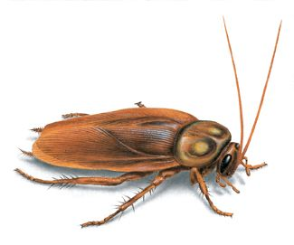 Image: American cockroach. If your home gets cockroaches here's another great tip for keeping them away without using a single harmful chemical. Add 1 TBLSP of Organic Catnip leaves to hot water, and let sit for several minutes. Strain into a spray bottle, and spray the kitchen, bathroom, other areas where you've seen roaches every time you mop/vacuum. The chemical in catnip --  nepetalactone -- repels cockroaches 100 times better than DEET, yet perfectly safe for kids and pets.