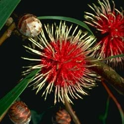 Hakea laurina (Pin-cushion Hakea) is one of the most admired native plants of south-western Australia.