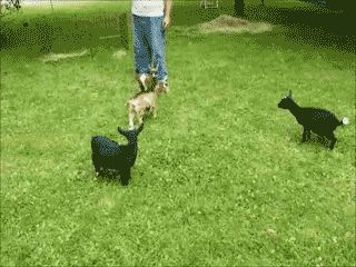 The hyperactive goat:   33 GIFs That Will Make You Howl With Laughter Every Single Time