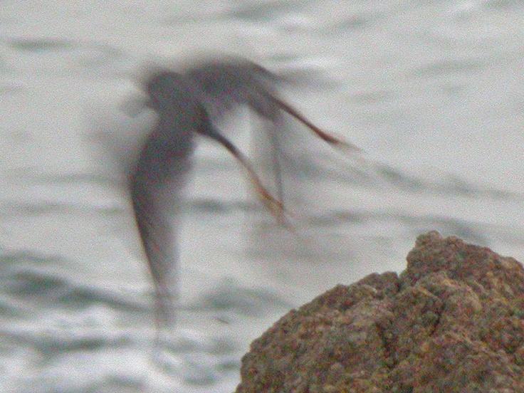 The Wandering Tattler is a medium-sized wading bird.Medium S Wade, Wade Birds