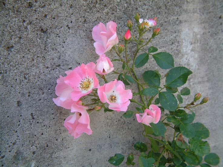 SnapshotRL バラ  挿し木のバラに花が付いた。 まだまだ小さいけど、アーチが作れたら良いなぁ^^ http://stepaya.blogspot.jp/2014/06/snapshotrl_29.html
