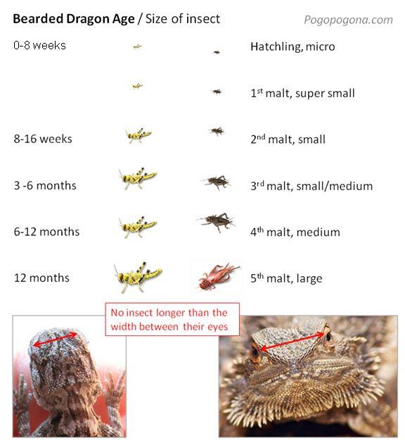 bearded dragon insect feeding guide Beardie Love