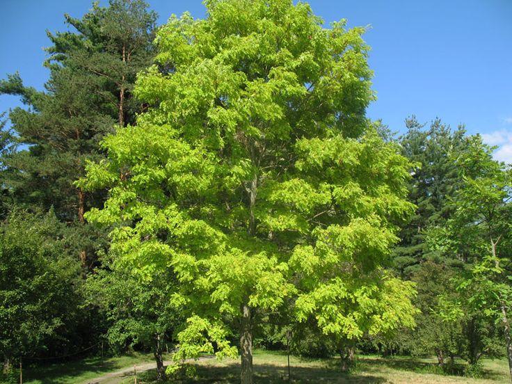 Robinia pseudoacacia - I actually love this tree