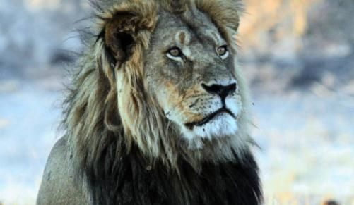Cecil the lion: Charges dropped against local hunter - Independent Online - http://zimbabwe-consolidated-news.com/2016/11/11/cecil-the-lion-charges-dropped-against-local-hunter-independent-online/