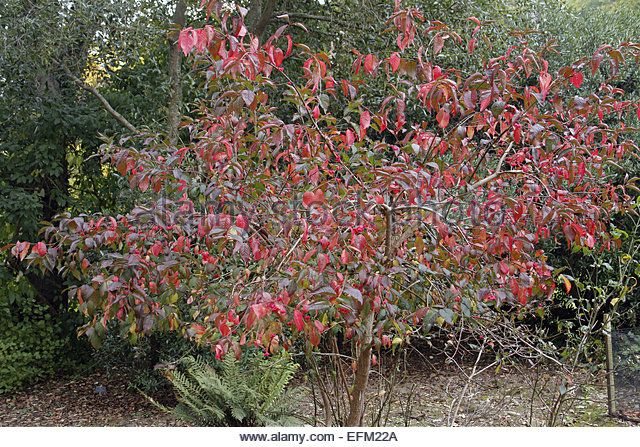 Image Result For Euonymus Europaeus Red Cascade Spindle