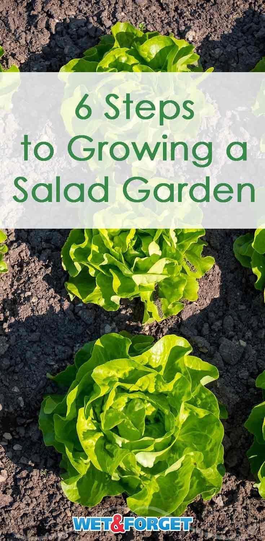 Follow These Six Simple Steps To Grow A Salad Garden In Your Backyard Careyourbackyard Organic Vegetable Garden Backyard Vegetable Gardens Growing Vegetables Backyard garden what to grow