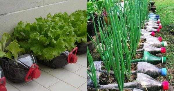 Овощи можно выращивать не на грядке, а в… бутылке! Пенсионер устроил шикарный огород на балконе. — Мир Растений