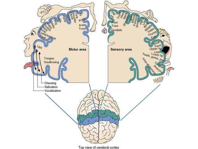 """motor/somatosensory """"homunculus"""" map"""
