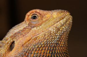 Caring for a Sick Bearded Dragon -- information on metabolic bone disease, respiratory and oral infections, egg laying, shedding, broken bones, brumation, etc.