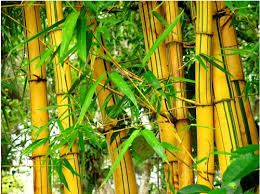 THERAPY AND CURE DIABETIC: Herbal Treatment of Diabetes With Yellow Bamboo