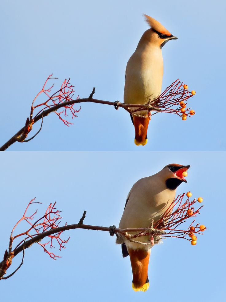 midlander1231 posted a photo:  I took these images today in Walsall here in the West Midlands and would you believe in a supermarket car park!  I was lucky to catch a mid-air berry in the lower image.  Bohemian Waxwings are exotic looking, berry-devouring, winter visitors to Great Britain and Ireland. They arrive in November in the north usually numbering only a hundred or so, then slowly move south and inland in search of food. But when poor weather, or a good breeding year, creates food…