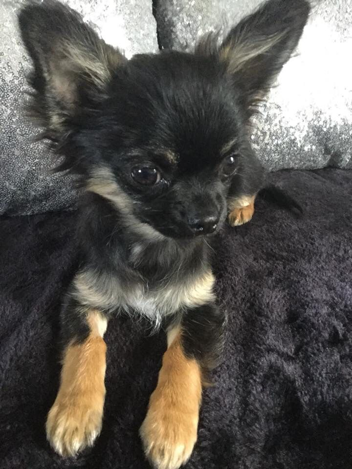 Pin By Deborah Cantwell On Chihuahuas Chihuahua Puppies