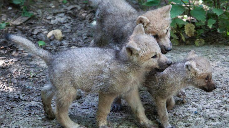 Wölfe können ihr Heulen als Sympathiesignal einsetzen: Verlässt ein nahestehendes oder höherrangiges Tier die Gruppe, reagieren die Artgenossen lautstark. Eine Studie deckt auf, was genau hinter dem Phänomen steckt.