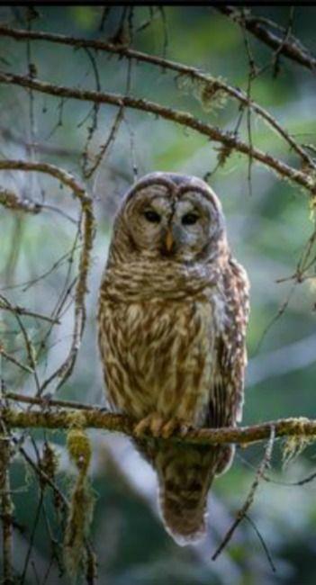 Barred Owl by Pius Sullivan - Photo 157178979 / 500px