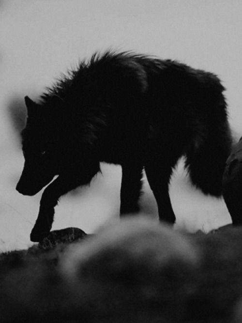 #wolf #black wolf #nature