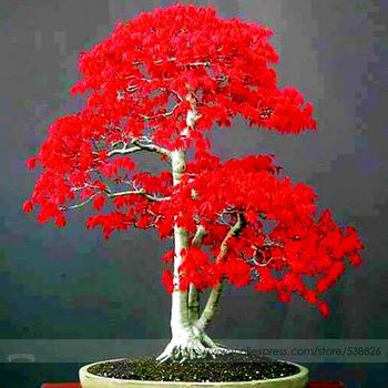 Seeds for American Blood Red Maple Tree //Price: $7.95 & FREE Shipping //    #cute #accessories #new