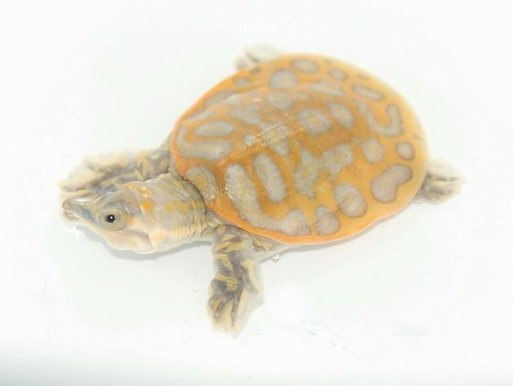 Clown Florida Soft-shelled Turtle for sale from The Turtle Source