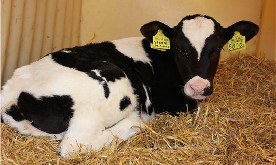 [b]Boerderij[/b] - Schattig die pasgeboren kalfjes op FarmCamps 't Looveld