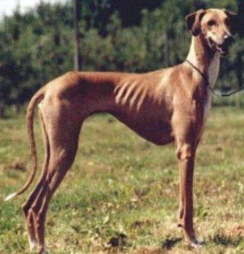 Топ-10: Самые редкие породы собак в мире