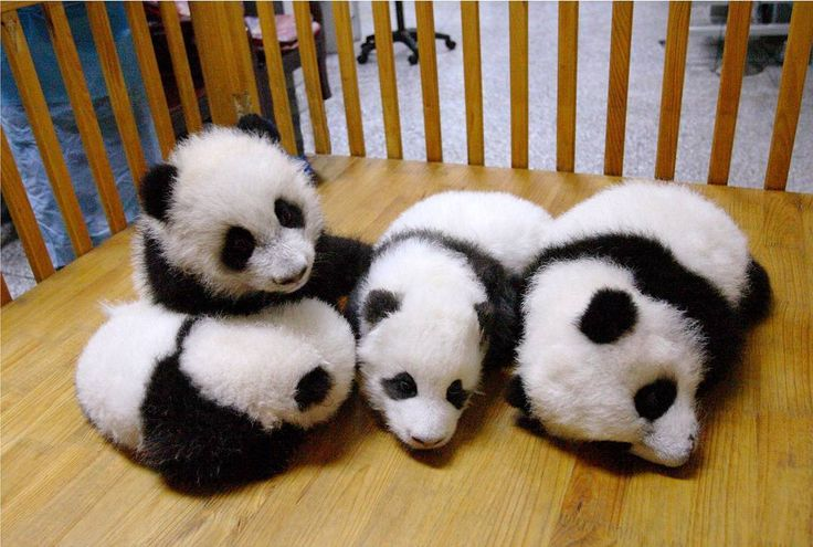 Baby pandas are the cutest animals in the world! #9gag @9gagmobile by 9gag