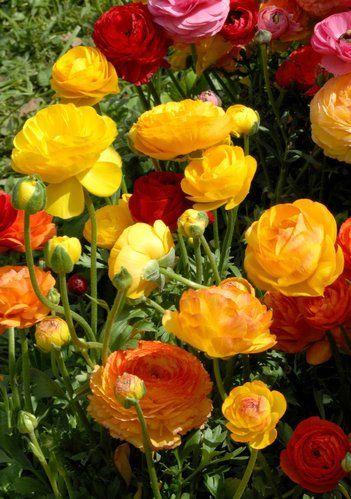 Renoncule: planter et cultiver des renoncules