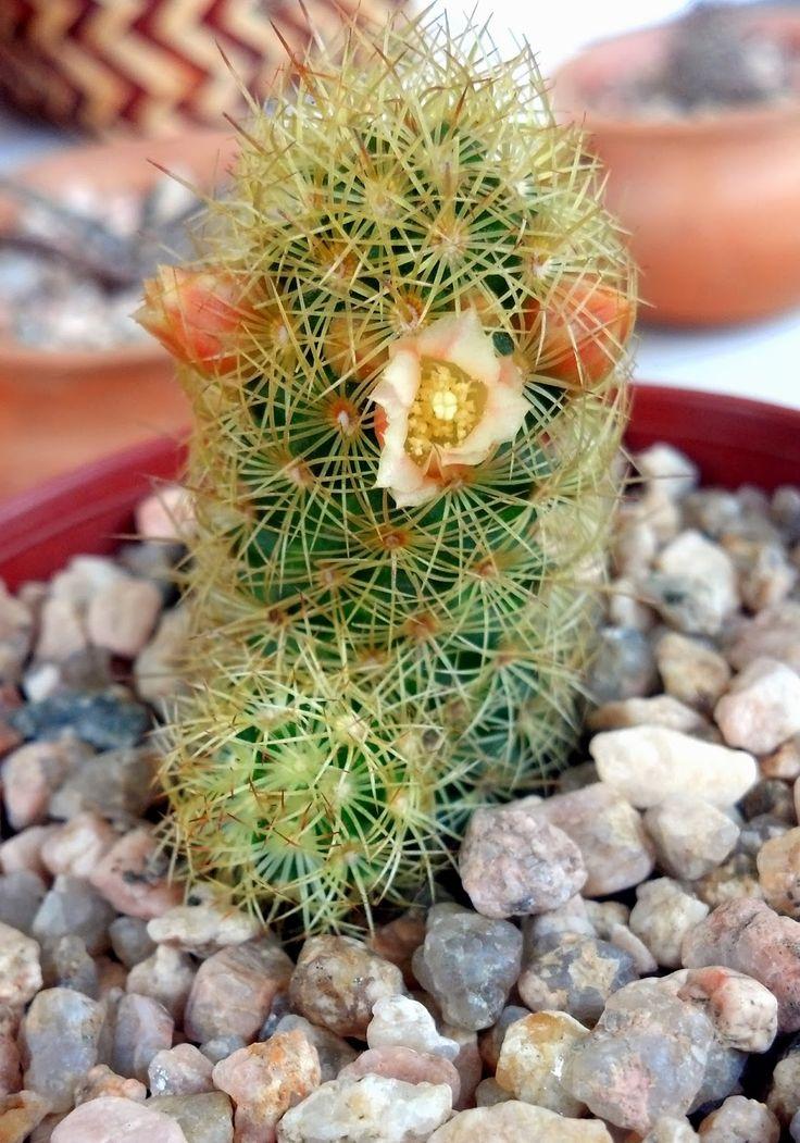 Mammillaria es uno de los géneros de cactus más grandes de la familia Cactaceae, contiene más de 350 especies y variedades reconocidas. ...