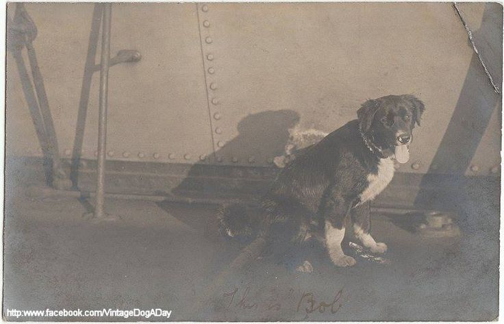 """""""This is the Newfoundland dog we saved from the wrecked schooner. He is very young yet, he will grow much bigger and he is a very nice dog."""" c.1915 by Vintage dog a day"""