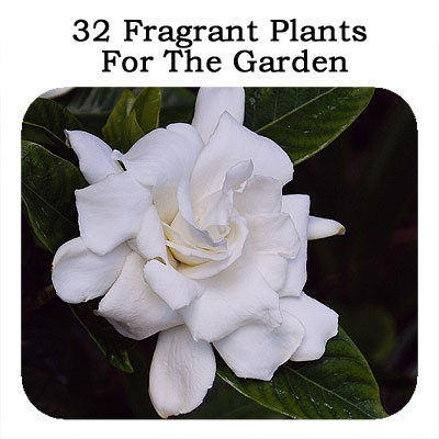 30 Fragrant Plants For The Garden