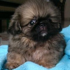 Pekingese puppy! I miss when we had them! Such good dogs!