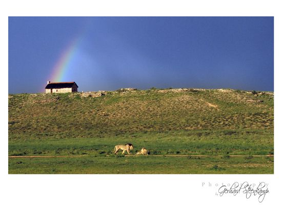 Rainbow & Lions at Rooiputs, Kgalagadi Transfrontier Park,South Africa