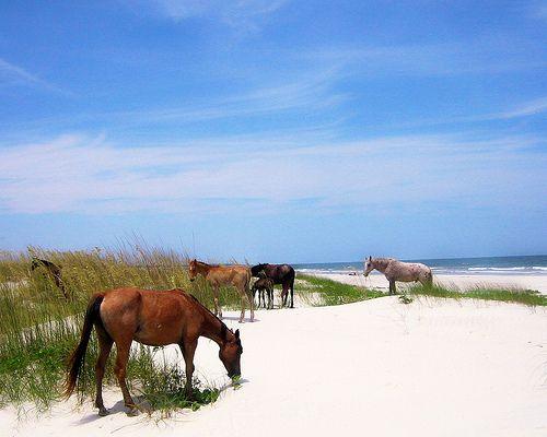 The wild ponies of Cumberland Island, Georgia.