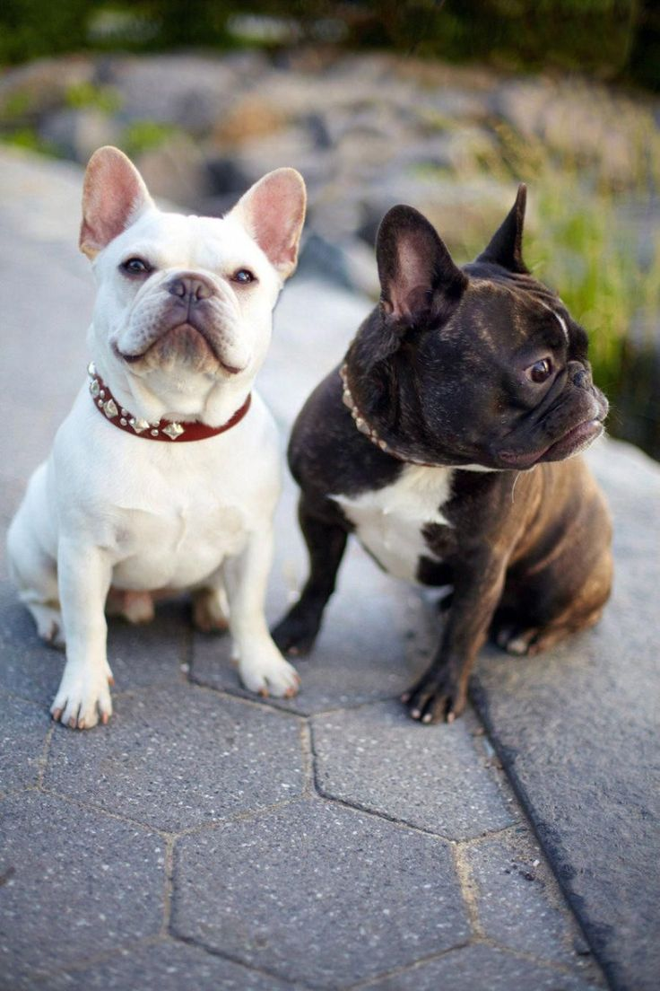 More About The Frenchie Pups Temperament