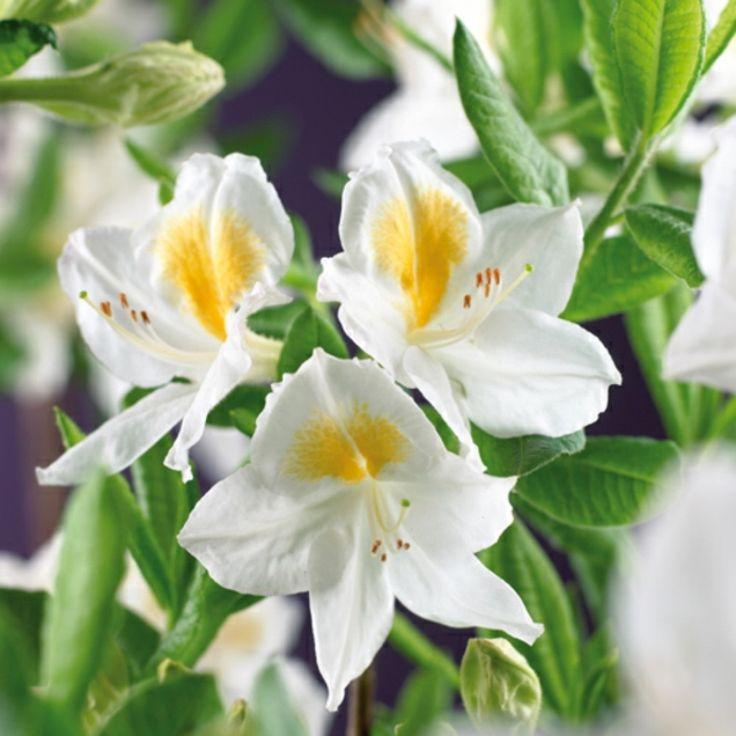 Garden Azalea 'Schneegold'