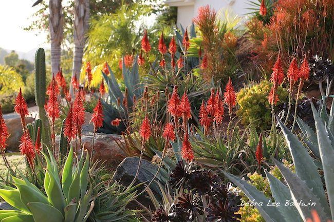 Aloe garden photo by debra lee baldwin aloes pinterest gardens photo galleries and photos - Succulent container gardens debra lee baldwin ...
